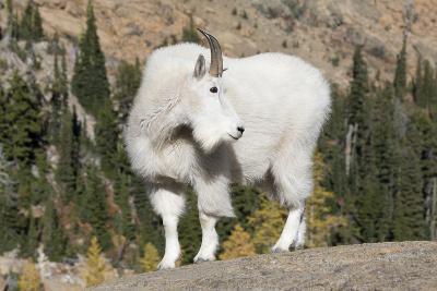 Washington, Alpine Lakes Wilderness, Mountain Goat, Billy Goat-Jamie And Judy Wild-Photographic Print