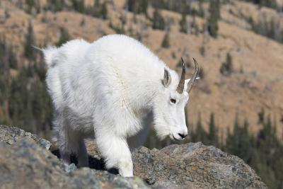 Washington, Alpine Lakes Wilderness, Mountain Goat, Nanny-Jamie And Judy Wild-Photographic Print