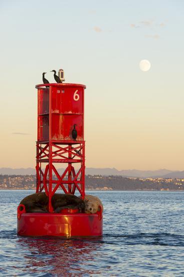 Washington, California Sea Lions and Cormorants. Full Moon-Trish Drury-Photographic Print