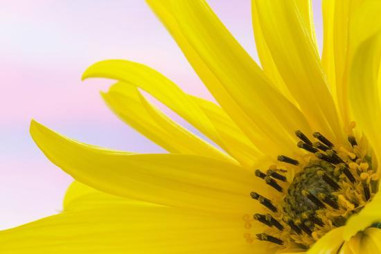 Washington. Detail of Sunflower Blossom-Jaynes Gallery-Photographic Print