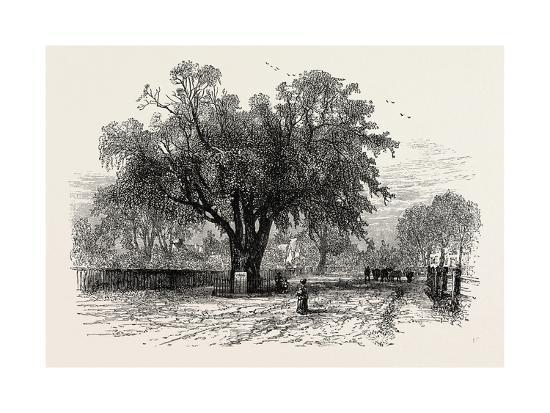 Washington Elm, Cambridge, Massachusetts, USA, 1870s--Giclee Print