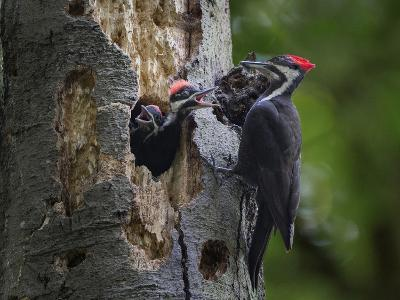 Washington, Female Pileated Woodpecker Aside Nest in Snag with Two Begging Chicks-Gary Luhm-Photographic Print