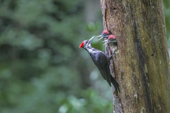 Washington, Female Pileated Woodpecker at Nest in Snag, with Begging Chicks-Gary Luhm-Photographic Print