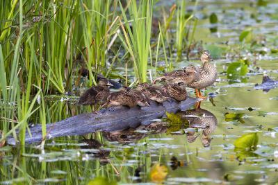 Washington, Juanita Bay Wetland, Mallard Fe Duck and Ducklings-Jamie And Judy Wild-Photographic Print