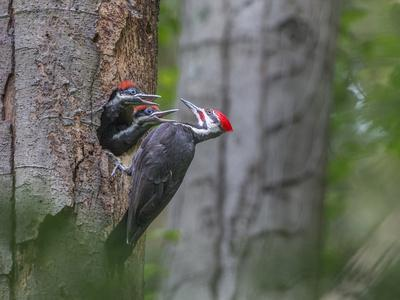 https://imgc.artprintimages.com/img/print/washington-male-pileated-woodpecker-at-nest-in-snag-with-begging-chicks_u-l-q12t04n0.jpg?p=0