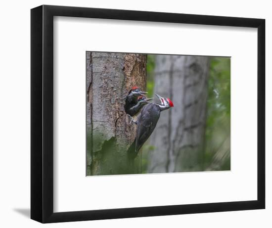 Washington, Male Pileated Woodpecker at Nest in Snag, with Begging Chicks-Gary Luhm-Framed Photographic Print