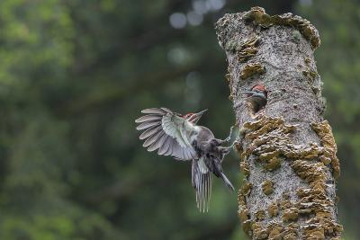 Washington, Male Pileated Woodpecker Flies to Nest in Alder Snag, with Begging Chick-Gary Luhm-Photographic Print