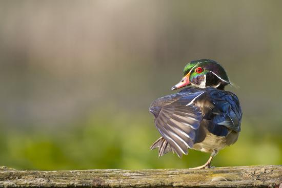 Washington, Male Wood Duck Stretches While Perched on a Log in the Seattle Arboretum-Gary Luhm-Photographic Print