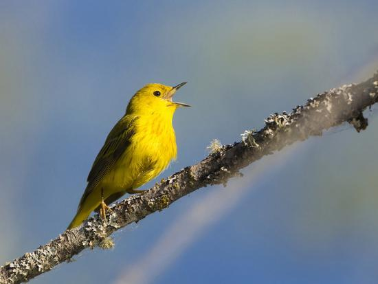 Washington, Male Yellow Warbler Sings from a Perch, Marymoor Park-Gary Luhm-Photographic Print