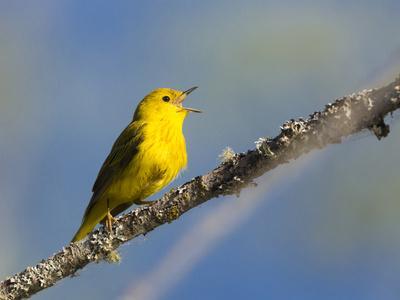 https://imgc.artprintimages.com/img/print/washington-male-yellow-warbler-sings-from-a-perch-marymoor-park_u-l-q12t7pq0.jpg?p=0