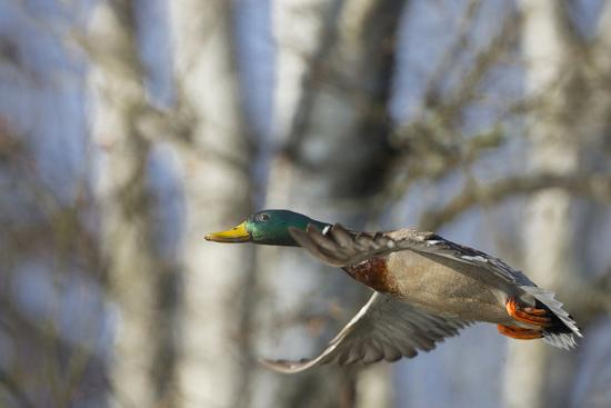 Washington, Mallard Drake in Flight-Gary Luhm-Photographic Print
