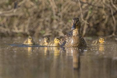 Washington, Mallard Hen with Ducklings on the Shore of Lake Washington-Gary Luhm-Photographic Print