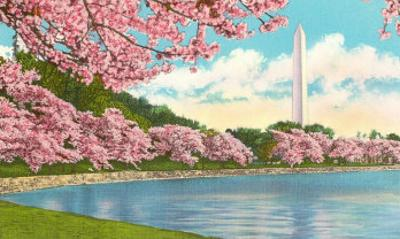 Washington Monument, Cherry Blossoms, Washington D.C.
