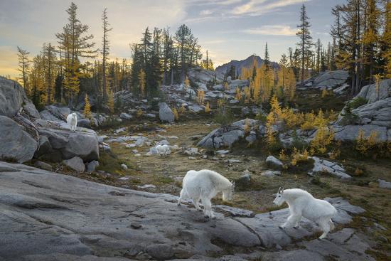 Washington, Mountain Goat Family Near Horseshoe Lake in the Alpine Lakes Wilderness-Gary Luhm-Photographic Print