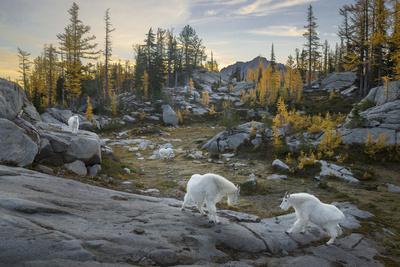 https://imgc.artprintimages.com/img/print/washington-mountain-goat-family-near-horseshoe-lake-in-the-alpine-lakes-wilderness_u-l-q12t7sd0.jpg?p=0
