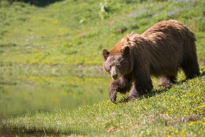Washington, Mt. Rainier National Park. American Black Bear in a Wildflower Meadow Near Mystic Lake-Gary Luhm-Photographic Print