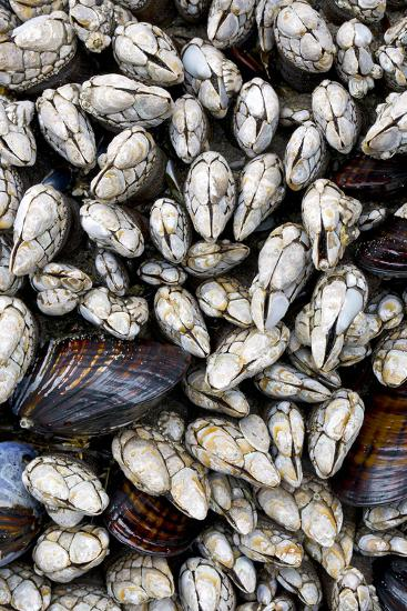 Washington, Olympic National Park. Gooseneck Barnacles and Clams-Jaynes Gallery-Photographic Print