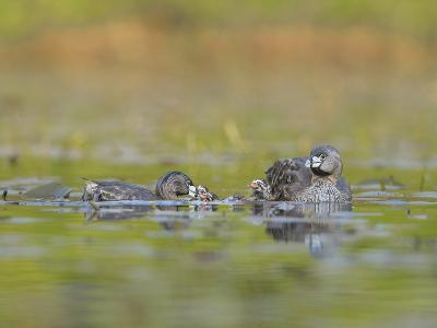 Washington, Pied-Bill Grebe Adult Brings Food Item to Newly-Hatched Chicks-Gary Luhm-Photographic Print