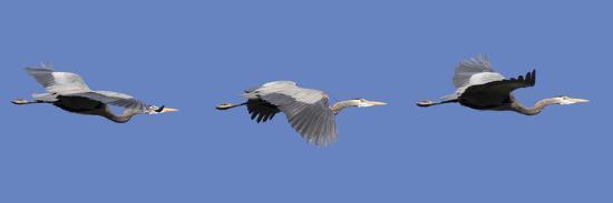 Washington, Redmond, Great Blue Heron-Jamie And Judy Wild-Photographic Print