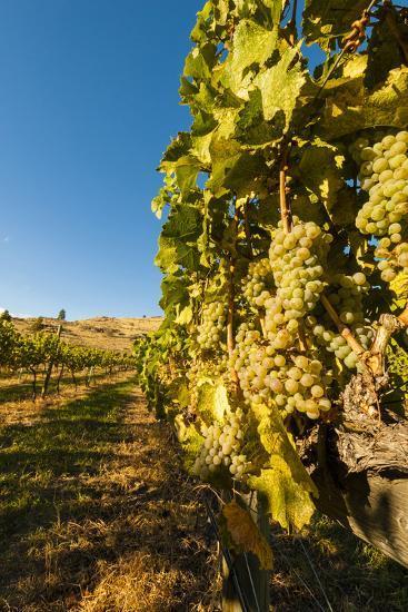 Washington State, Lake Chelan. Riesling Grape Cluster-Richard Duval-Photographic Print