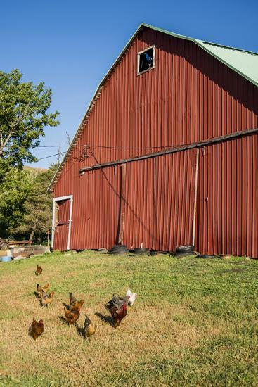 Washington State, Palouse, Whitman County. Pioneer Stock Farm, Chickens and Peacock in Barn Window-Alison Jones-Photographic Print