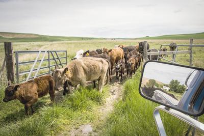 https://imgc.artprintimages.com/img/print/washington-state-palouse-whitman-county-pioneer-stock-farm-cows-at-pasture-gate_u-l-q13alg00.jpg?p=0