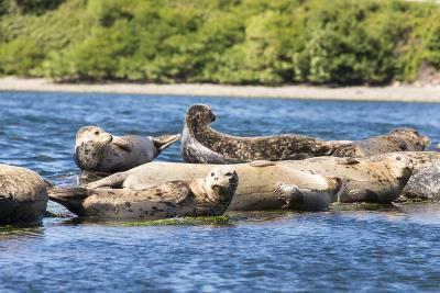 Washington State, Poulsbo. Harbor Seal Haul Out. Liberty Bay-Trish Drury-Photographic Print