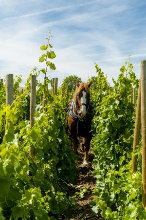 https://imgc.artprintimages.com/img/print/washington-state-walla-walla-vineyard-that-tills-the-soil-with-horsepower_u-l-q13aofx0.jpg?p=0