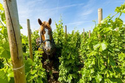 https://imgc.artprintimages.com/img/print/washington-state-walla-walla-vineyard-that-tills-the-soil-with-horsepower_u-l-q13az120.jpg?p=0