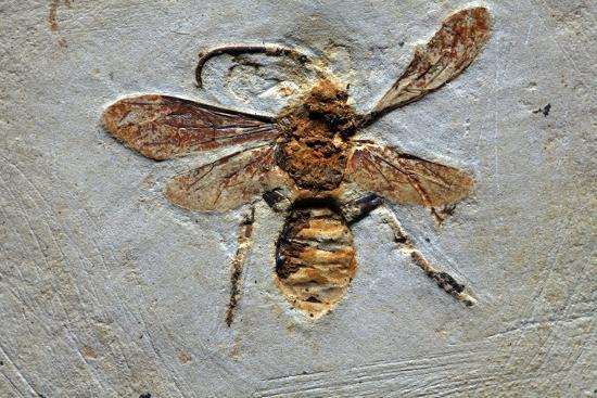 Wasp Fossil-Dirk Wiersma-Photographic Print