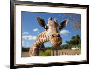 Giraffe in front of Kilimanjaro mountain by Wassiliy