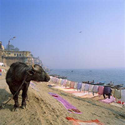 Water Buffalo and Drying Washing on the Banks of the Ganges, Varanasi, Uttar Pradesh State, India-Tony Gervis-Photographic Print