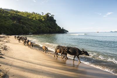 Water Buffalo on the Beach at Sungai Pinang, Near Padang in West Sumatra, Indonesia, Southeast Asia-Matthew Williams-Ellis-Photographic Print