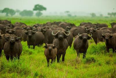 Water Buffalo Standoff on Safari, Mizumi Safari Park, Tanzania, East Africa, Africa-Laura Grier-Photographic Print