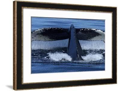Water Drips from the Tail Flukes of a Humpback Whale as it Dives-Michael Melford-Framed Photographic Print
