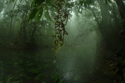 Water Drips Off Vines in a Rainforest-Prasenjeet Yadav-Photographic Print