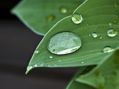 https://imgc.artprintimages.com/img/print/water-droplets-on-a-blue-cadet-hosta-leaf_u-l-pev9ht0.jpg?p=0