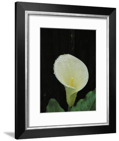 Water Droplets on a Calla Lily-Marc Moritsch-Framed Photographic Print