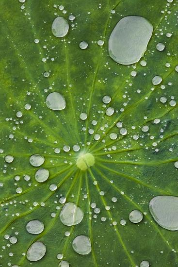 Water Droplets on a Lotus Leaf-Glen Allison-Photographic Print