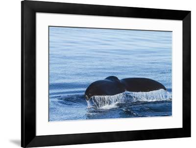 Water flows off a humpback whale's tail as it prepares to dive, British Columbia.-Brenda Tharp-Framed Premium Photographic Print