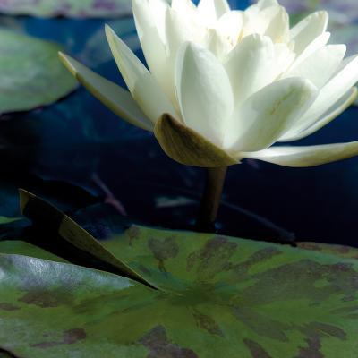 Water Lilies II-Jennifer Broussard-Art Print