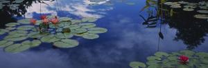 Water Lilies in a Pond, Denver Botanic Gardens, Denver, Denver County, Colorado, USA
