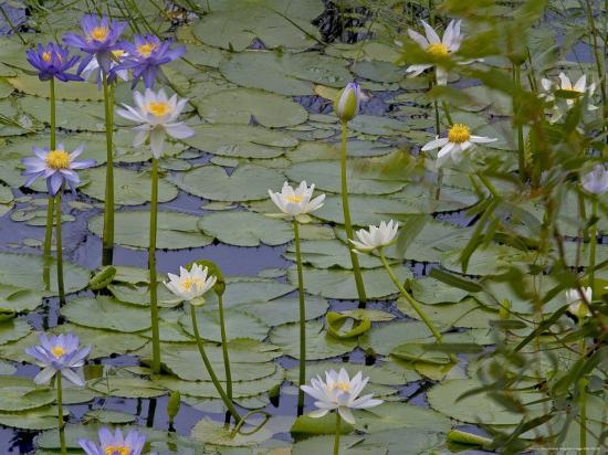 Water Lilies in Bloom-Randy Olson-Photographic Print