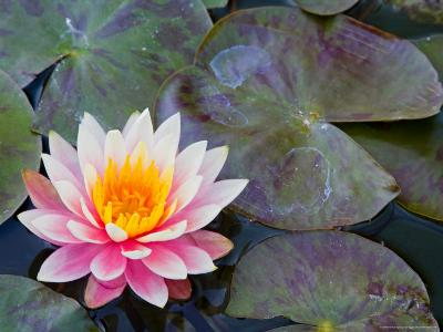 Water Lilies in Pool at Darioush Winery, Napa Valley, California, USA-Julie Eggers-Photographic Print