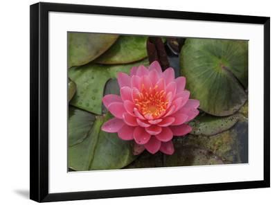 Water lilies near Victoria, British Columbia-Stuart Westmorland-Framed Photographic Print