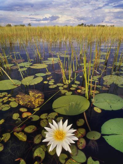 Water Lilies, Okavango Delta, Botswana-Frans Lanting-Photographic Print