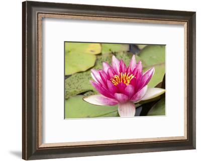 Water lilly bloom and lily pads in a pond.-Tom Haseltine-Framed Photographic Print