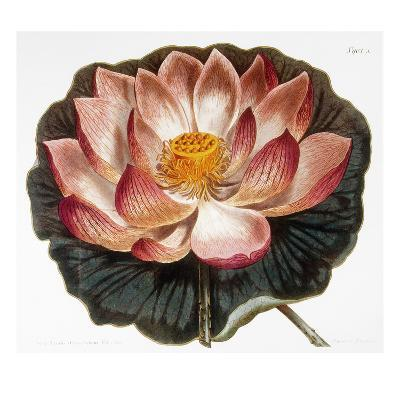 Water Lily, 1806--Giclee Print