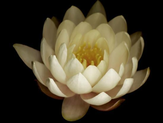 Water Lily A1: Yello & White Water Lily-Doris Mitsch-Photographic Print