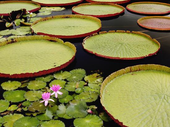 Water Lily and Lily Pad Pond, Longwood Gardens, Pennsylvania, Usa-Adam Jones-Photographic Print